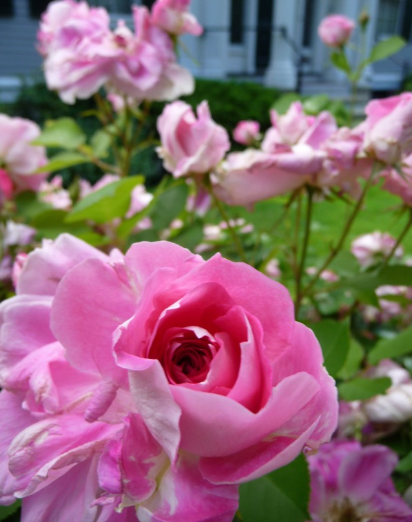 Enticing roses in front of a 1903 historic house in the Old Cambridge Historic District.